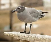 Lava gull or dusky gull (Leucophaeus fuliginosus), said to be the rarest gull in the world, is endemic to the Galapagos Islands. Puerto Baquerizo Moreno, San Cristobal, Galapagos, Ecuador.