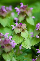 Red Dead Nettle. Lamium purpureum. Also called Purple deadnettle or Purple archangel