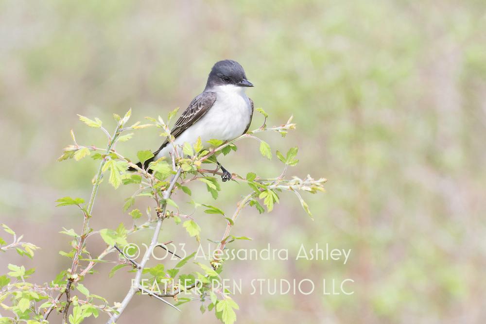 Eastern kingbird (Tyrannus tyrannus) perched at Ottawa NWR, NW Ohio.