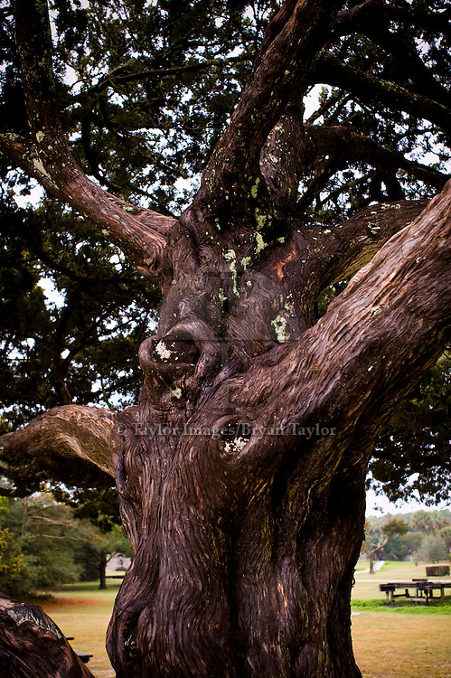 Knotted cypress tree trunk at Huntington Beach State Park in Murrells Inlet, South Carolina