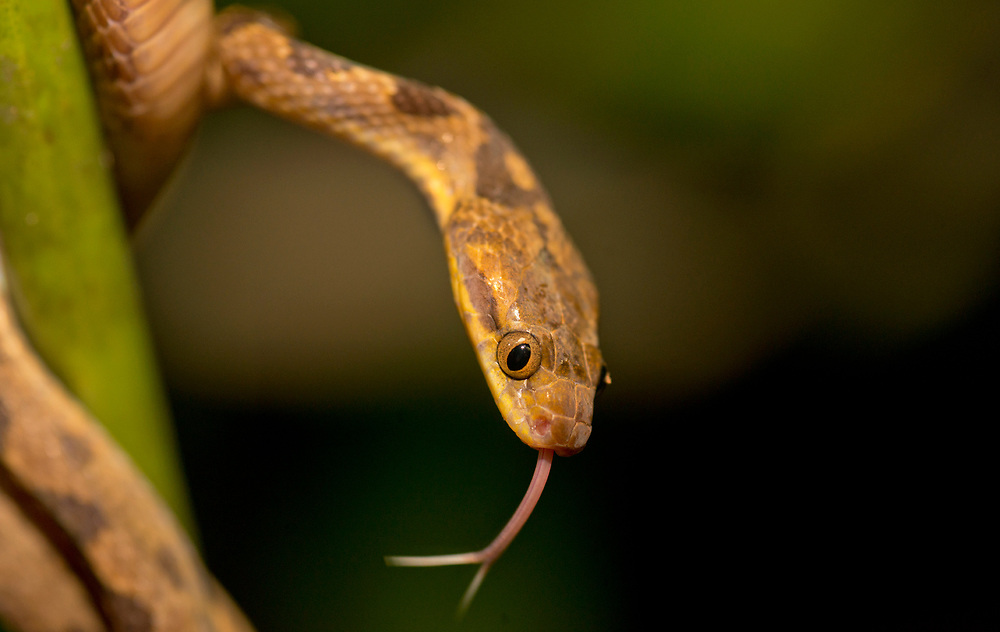Cat eye snake in the rain forest of Costa Rica at night