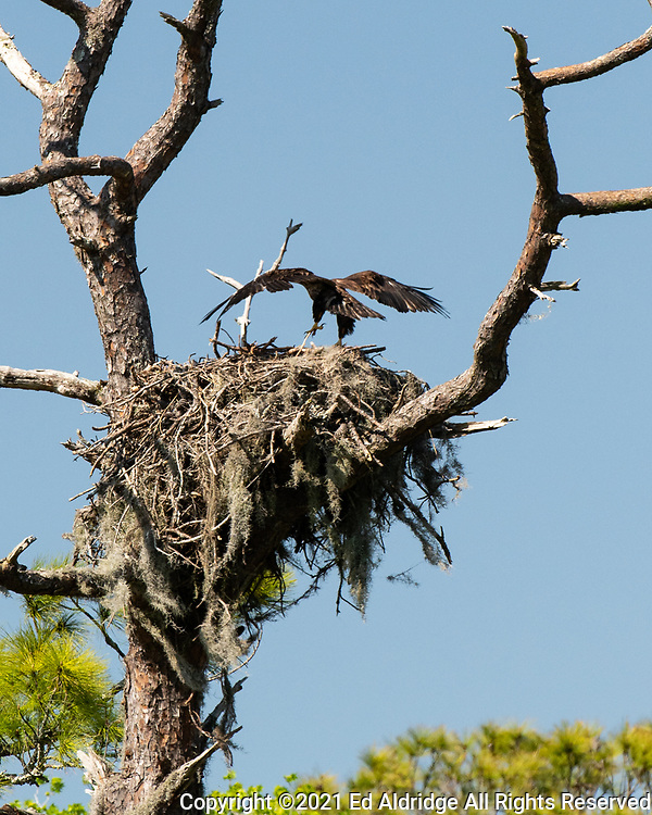 Juvenile Bald Eagle in the nest at the Sea Pines Forest Preserve on Hilton Head Island, South Carolina. Image taken by Ed Aldridge with a NIKON Z 6_2 and 500mm f/4D at 500mm, ISO 1600, f8, 1/1000.