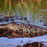 Africa, Botswana, Okavango Delta. Nile Crocodile in the Okavango.