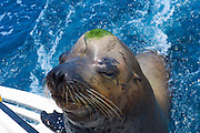 """Poncho"", Sea Lion, Cabo San Lucas, Baja, Mexico"
