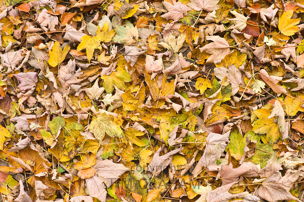 Autumn leaves, sycamore, copper beech and lime, on forest floor in Autumn, The Cotswolds, UK