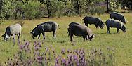 Iberian pigs in the Dehesa forest.Campanarios de Azába reserve, to the right Diégo Benito Peñil,  Salamanca Region, Castilla y León, Spain