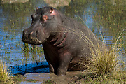 Hippopotamus (Hippopotamus amphibius)<br /> Marakele Private Reserve, Waterberg Biosphere Reserve<br /> Limpopo Province<br /> SOUTH AFRICA<br /> RANGE: Formerly all over Africa. Now absent from far north and south of range.