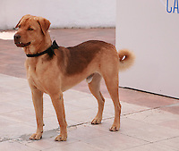 Hagen the dog cast member at the photo call for the film White God (Feher Isten) at the 67th Cannes Film Festival, Saturday 17th May 2014, Cannes, France.