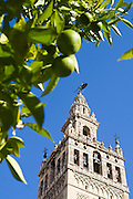 Leaves of lemon trees frame La Giralda (cathedral tower), Sevilla, Andalusia, Spain. The cathedral was once a great mosque, and the bell tower a minaret.