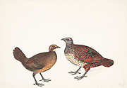 The painted spurfowl (Galloperdix lunulata) is a bird of the pheasant family found in rocky hill and scrub forests mainly in peninsular India. Males are more brightly coloured and spotted boldly in white. Males have two to four spurs while females can have one or two of the spurs on their tarsus. The species is found mainly in rocky and scrub forest habitats unlike the red spurfowl. They are found in the undergrowth in pairs or small groups, escaping by running and rarely taking to the wing when flushed. 18th century watercolor painting by Elizabeth Gwillim. Lady Elizabeth Symonds Gwillim (21 April 1763 – 21 December 1807) was an artist married to Sir Henry Gwillim, Puisne Judge at the Madras high court until 1808. Lady Gwillim painted a series of about 200 watercolours of Indian birds. Produced about 20 years before John James Audubon, her work has been acclaimed for its accuracy and natural postures as they were drawn from observations of the birds in life. She also painted fishes and flowers. McGill University Library and Archives