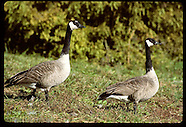 14: HERITAGE SHAWNEE NF CRAB ORCHARD GEESE