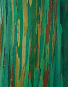 Painted bark eucalyptus, the Hana Coast, Island of Maui, Hawaii