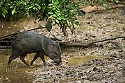 Collared Peccary (Pecari tajacu)<br /> Yasuni National Park, Amazon Rainforest<br /> ECUADOR. South America<br /> HABITAT & RANGE: Sub-tropics and tropics of southern USA to northern Argentina.