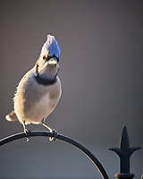 Blue Jay. Image taken with a Nikon D5 camera and 600 mm f/4 VR lens (ISO 1600, 600 mm, f/4, 1/1250 sec).