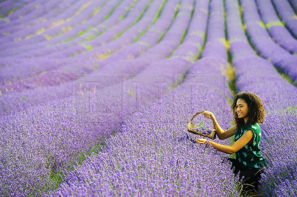 © Licensed to London News Pictures. 26/07/2013 Hitchin, UK. Bethany Joseph, 19 picks lavendar at Hitchin Lavendar, Cadwell Farm, Hitchin, Hertfordshire. The Lavendar, now in full bloom, has been farmed at Cadwell for more than one hundred years and for five generation, farming over 12 acres of lavender or 17 miles of rows. In the past the small market town of Hitchin was one of only two major Lavender growing areas in the country.  At its height in the nineteenth century a hundred acres were grown around the town and it soon became renowned nationally. Each lavender field could continually produce abundant crops for five years before being uprooted and burned, providing a fragrant and captivating aroma that blew across the whole town.<br /> Photo credit : Simon Jacobs/LNP