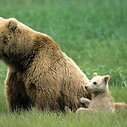 Alaskan Brown Bear, (Ursus middendorffi) Mother sitting looking left, cub sitting behind her, Katmai National Park. Alaska