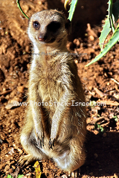 "Suricatta - Meerkat, Suricata suricatta. The meerkat or suricate is a small mammal and a member of the mongoose family. It inhabits all parts of the Kalahari Desert in southern Africa. A group of meerkats is called a ""mob"" or ""gang""."