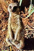 """Suricatta - Meerkat, Suricata suricatta. The meerkat or suricate is a small mammal and a member of the mongoose family. It inhabits all parts of the Kalahari Desert in southern Africa. A group of meerkats is called a """"mob"""" or """"gang""""."""