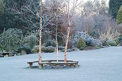 Curved bench seats around three birch trees - Betula nigra 'Heritage' on a frosty morning in John Massey's garden. Design: John Massey, Ashwood Nurseries