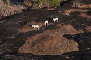 Horses<br /> Savanna <br /> Rupununi<br /> GUYANA<br /> South America