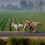 Robed man on donkey cart on rural road, Egypt (January 2008)