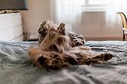 "English Setter ""Rudy"" schläft am 01.02. 2019 im Bett in Prag. Rudy wurde Anfang Januar 2017 geboren."