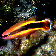 Caribbean Sea Bass/Basslets
