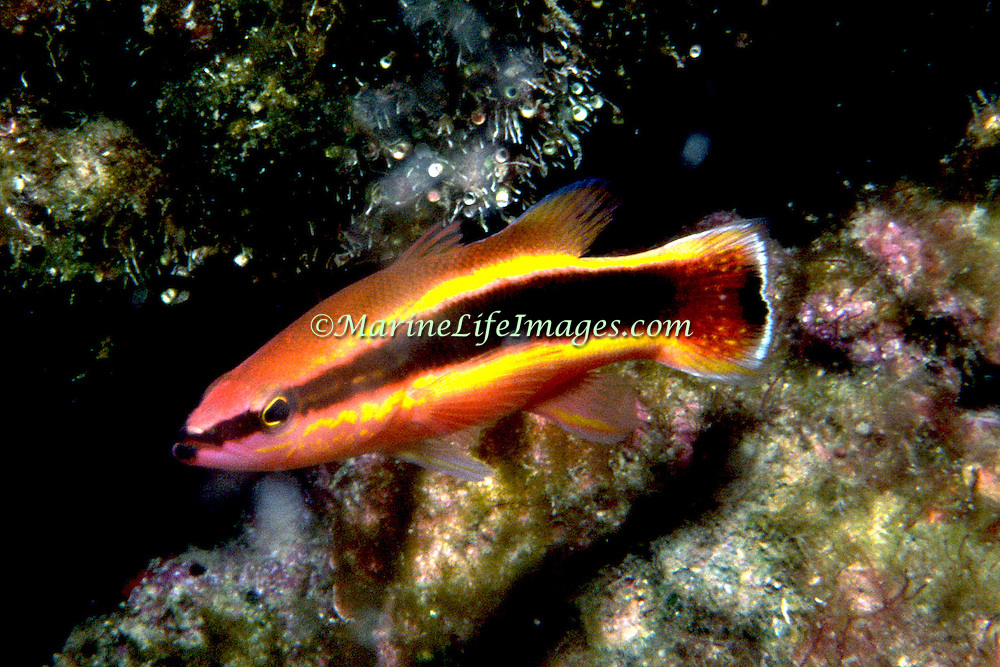 Wrasse Basslet hide in dark recesses in deep rocky reefs in Florida to North Carolina (not reported Bahamas or Caribbean); picture taken Stetson Bank, Gulf of Mexico.
