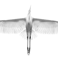 """Swamp Angel"" - High key image of a great egret (Ardea alba) flying overhead at the St. Augustine Alligator Farm rookery, St. Augustine, FL. Best Of Show, PID Color, 44th Westchester International. Best B&W Print, Nature, 2017 NECCC. NANPA 2017 Showcase Top 250."