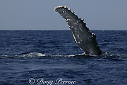 humpback whale, Megaptera novaeangliae, pec wave or pectoral fin wave, Kona, Hawaii, caption must note photo was taken under NMFS research permit #587