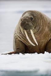 Walrus (Odobenus rosmarus) on ice in Hinlopen, Svalbard