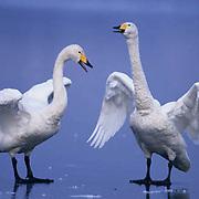 Whooper swan (Cygnus cygnus) on Lake Kussharo. Japan