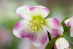 Helleborus 'Briar Rose'
