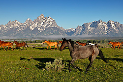 Horses, Grand TetonsWranglers round up the ramuda for a days work on the Triangle X Guest Ranch in Jakcson Hole Wyoming.