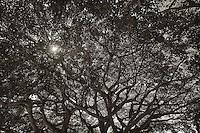 Backlit Banyan Tree in Wast Palm Island, Florida, USA.