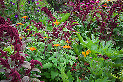Amaranthus paniculatus 'Red Fox' with Tithonia rotundifolia 'Torch', Rudbeckia hirta 'Cherry Brandy' (Coneflower) and Courgette 'Green Bush'