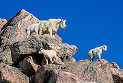 Mountain goat Nanny and 3 kids looking down, Mount Evans, Colorado