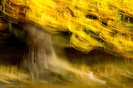 Last Autmn I set about creating impressions of trees. I used a slow shutter speed and experimented by moving the camera in different ways during each exposure, attempting to mimic the look of a paint brush on canvas. Location: Cheshire, UK.