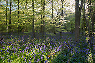 Bluebell woodland - Hyacinthoides non-scripta, Stoke Woods, Bicester, Oxfordshire owned by the Woodland Trust