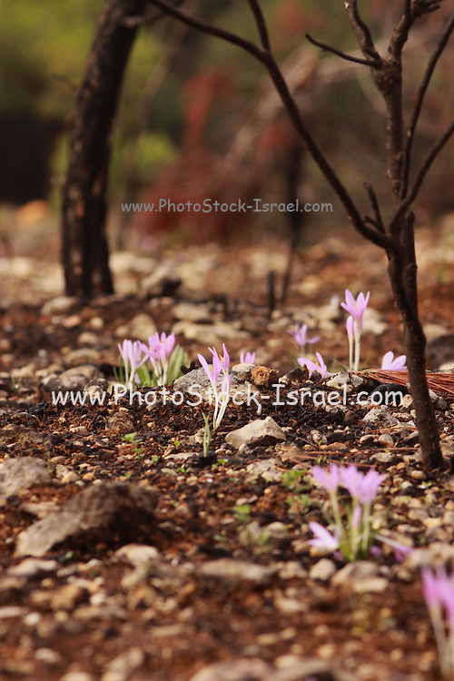 Colchicum stevenii Steven's Meadow saffron Photographed in Israel, Carmel Forest in November
