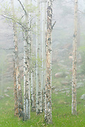 Quaking aspen (Populus tremuloides) in fog, Lost Creek Wilderness, Colorado.