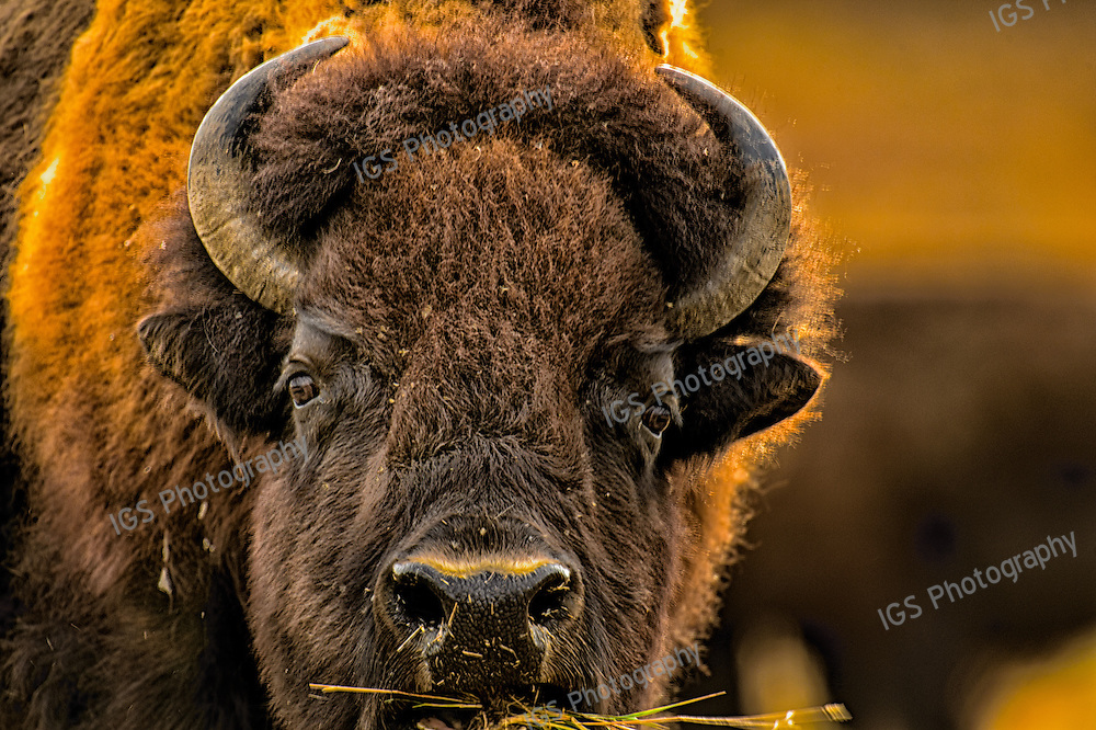 American Bison  Eating Grass