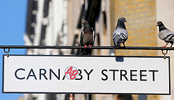 22 April 2011. London, England..Pigeons sit on the street sign for Carnaby St, a trendy tourist mecca  in the heart of London's West End.  .Photo; Charlie Varley.