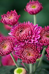 Chrysanthemum 'Blenda Purple'