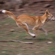 Dingo, (Canis familiaris) Running. Australia. Captive Animal.