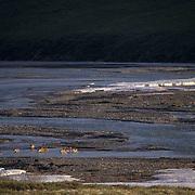 Barren Ground Caribou (Rangifer arcticus) Porcupine herd Artic National Wildlife Refuge in the Kongakut River. Alaska