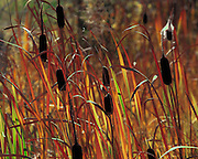 """Typha """"cattails"""" in autumn color in Grand Teton National Park"""