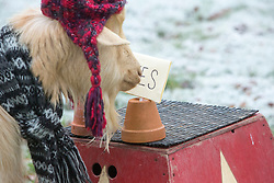 """Boots the fortune telling goat gives their predictions for 2017, at Lanton Hill Farm, Jedburgh. Think this was """"Will Rangers finish sceond""""."""