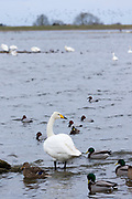 Whooper Swan, Cygnus cygnus, and Pochard and Mallard Ducks, at Welney Wetland Centre, Norfolk, UK