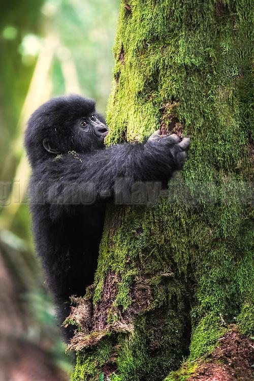 Gorilla baby climbing in a tree. Wildlife, Rwanda   Gorilla baby som klatrer i et tred. Ville dyr, Rwanda.